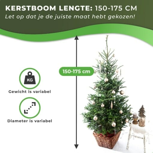 Fraseri kersboom met kluit kopen 150-175